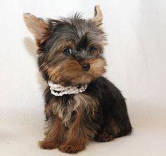 miniature yorkies | Extra Mini Yorkie Yorkshire Terrier Rüde Mädchen Welpen