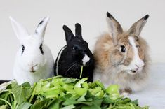 Two Bunnies and a Pigeon 😜🤭 _______________________________________________________ Beautiful Rabbit, Fluffy Bunny, Basset Hound, Rottweiler, Pigeon, Animal Photography, Bunnies, Kitten, Instagram Images