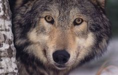 Stop Idaho's Cruel Wolf And Coyote Derby - ForceChange