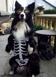 Asha the Halloween Spirit Border Collie...