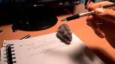 """starstarstarstar: """" kenderfriend: """" sixpenceee: """" """"Why haven't you done any homework?"""" Because the hamster stole my pencil. (Source) """" Too cute for words, 💕💕💕 """" This is something my hamster AND cat. Funny Animal Videos, Funny Animal Pictures, Cute Funny Animals, Animal Memes, Funny Cute, Cool Pictures, Hilarious, Yorkies, Animals And Pets"""