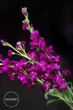 Nombre común: Alhelí de invernadero.  Nombre científico: Matthiola Incana.  Altura: De 30 hasta  80 cm. Características: De esta planta se pueden encontrar varias especies. Algunas de las más famosas son las amarillas, aunque las blancas son también muy queridas. Un rasgo muy apreciado de esta flor es su perfume.