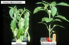 A study on the effects of mycorrhizal fungi in plant growth Plant Growth, Garden Pests, Growing Vegetables, Fungi, Herbs, Plants, How To Make, Diy, Propagation