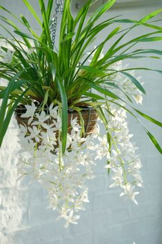 Some of the best indoor hanging baskets feature orchids, like this cymbidium Sarah Jean 'Ice Cascade.' This orchid type is a good pick for beginners, as it is vigorous and free flowering. Expect a four-year-old plant to produce as many as ten flowering spikes over a period of three months. Keep the plant in cool dappled sunlight, and provide consistent moisture