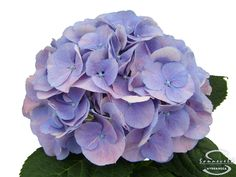 Associated Cut Flower Co., Inc is New York's Floral Wholesaler. We offer the widest selection of fresh cut wholesale flowers from all over the world. Hydrangea Flower, Hydrangeas, Hydrangea Macrophylla, Cut Flowers, Floral Wreath, Lavender, Wreaths, Purple, Rose