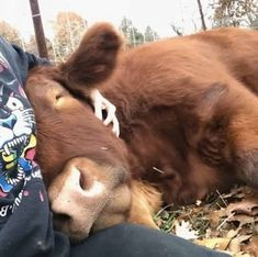 These 20 Adorable Pictures Prove That Cows Are The Cutest Animals Around - Cows are awesome – here's 17 pieces of evidence to help prove my point - Cute Baby Cow, Cute Baby Animals, Farm Animals, Animals And Pets, Pet Cows, Baby Cows, Fluffy Cows, Fluffy Animals, Cow Pictures
