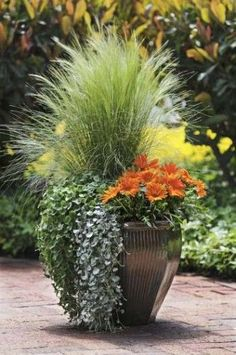 Orange Surprise, by Ball Horticultural Container Size: 14 inches, Exposure: Sun  New Day™ Clear Orange gazania (2) Emerald Falls dichondra (2) Silver Falls™ dichondra Pony Tails Mexican feather grass