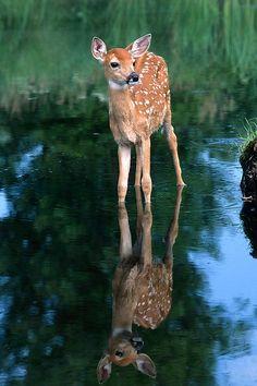 "beautiful-wildlife: ""Fawn Reflection by Sandra Bronstein """