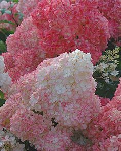 Vanilla Strawberry Hydrangea! Must have for next season! Cream white in summer, changes to pink & fuchsia in fall. Love these!!