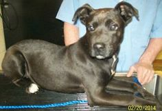 Sugar is a sweet girl. She is a 9 month old Pit Bull Terrier/Retriever mix that loves attention.