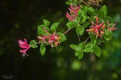 붉은인동꽃