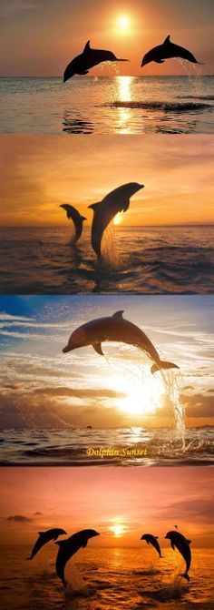dolphins at a sunset