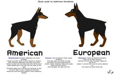 American Doberman vs German Doberman   Good European Breeder? - Doberman Forum : Doberman Breed Dog Forums
