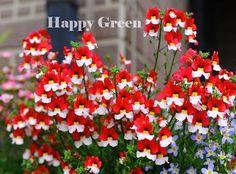 NEMESIA DANISH FLAG - 1100 SEEDS - Nemesia strumosa - RED WHITE FLOWER                                                                                                                                                                                 More