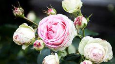 Alte Rosen, englische Rosen, französische Rosen...