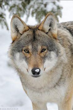 Eurasian Wolf by © www.wonderful-earth.net