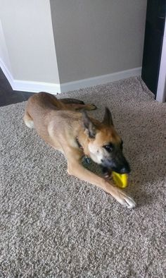 """Austyn is an extremely active 10 month old malinois/GSD mix. She is also really smart and with the right home has potential to do anything. she needs an active home. She is not just a """"pet."""" She is a working breed and needs a job! When she gets..."""