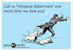 I hate when people ask me if Poco is a miniature doberman. LOL!