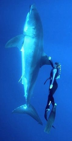 Ocean Ramsey swimming with a Great White Shark. She is known for her work as a shark conservationist, in which she swims with sharks, including great white sharks, to show the importance of conservation. She has dived with 32 species of sharks. The Great White, Great White Shark, Beautiful Creatures, Animals Beautiful, Orcas, Pesca Sub, Types Of Sharks, Underwater Life, Ocean Creatures
