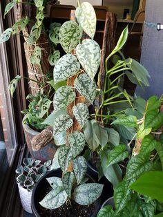 Pothos Plant Care, Peperomia Plant, Outside Plants, Outdoor Plants, House Plants Decor, Plant Decor, Exotic Plants, Tropical Plants, Greenhouse Plants