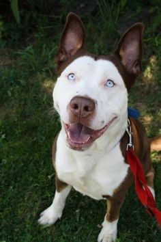 Pitsky (Pitbull Husky Mix) I'm sure they aren't all this perfect mixture of the two...but I want THIS ONE!