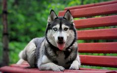 TYPES OF HUSKIES– Husky is really a common title for any sled-type associated with dog utilized in northern regions, differentiated through some other sled dog kinds through their own quick pulling vogue. They're a good at any time changing cross-breed ... Read more...