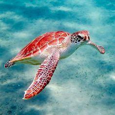 #egypt #marsaalam #abudabbab #seaturtle #greenseaturtle #underwater #underwaterphotography #wildlife #wildlife_perfection #wildlifephotography #animalsofinstagram #animals #worldwithwildlife #snorkeling #египет #марсаалам #красноеморе #морскаячерепаха #черепаха #turtle #подводныймир #подводноефото #подводнаясъемка #путешествияпомиру #путешествияэтожизнь #путешествие