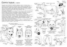 How to draw the wolf - in Ru by Elruu