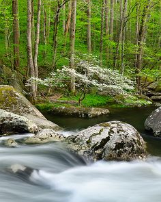 Dogwood on Little River: Smoky Mountains, TN