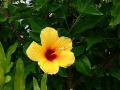 Hawaii state flower | Hawaii state flower: hibiscus! | Flickr - Photo Sharing!