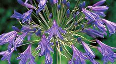 Agapanthus plant profile