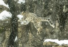 Clouded Snow Leopard Leaping to Get to the Other Side.