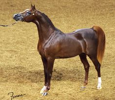 (GF Omega *Soho Carol x Orchid Of Rohan) 2001 chestnut stallion