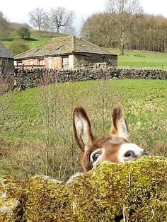 """""""I'm just the best at hide and seek!"""" - Cute donkey photo by Calton Lees Chatsworth The Animals, Farm Animals, Funny Animals, Zebras, Beautiful Creatures, Animals Beautiful, Animal Pictures, Cute Pictures, Cute Donkey"""