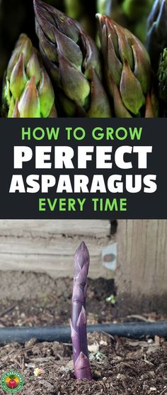 Asparagus is one of the most rewarding plants to grow once you know how to do it. Learning how to grow asparagus correctly is the key to not ripping your hair out! #veggies #vegetables #asparagus #gardening #garden