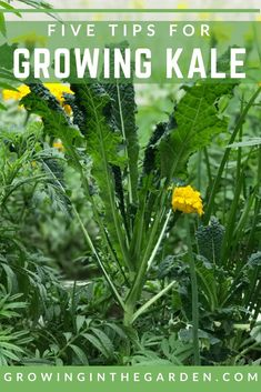 Potager Garden How to Grow Kale- Five Tips for Growing kale- Starting A Vegetable Garden, Home Vegetable Garden, Organic Vegetables, Growing Vegetables, Kale Growing, Gardening Vegetables, Growing Plants, Gardening For Beginners, Gardening Tips