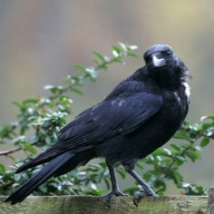 Jackdaw (or crow?)