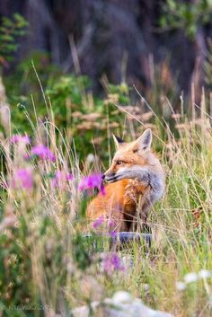 red fox   animal + wildlife photography