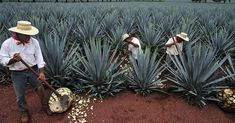 Increased demand for tequila is wreaking havoc on agave farms and tequila producers in Jalisco, Mexico, where the world's supply of the spirit is produced.