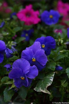 Pansies Purple Garden Tulips Petunias Beautiful Gardens Flowers