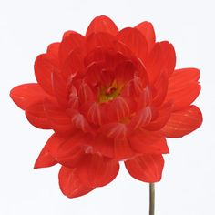 Bright Fire Orange Dahlia flowers are decorative globe-shaped flowers with many colorful petals. This bright orange Dahlia is shipped fresh and direct from our farm and would add a great splash of color and warmth to any wedding flower arrangement or bouquet. Shipping included!
