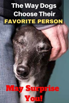 You would think that a dog's favorite person would be whoever gives them the most food and attention, right? Does your dog have a favorite person? This is How Dogs Choose Their Favorite Person Pet Care Tips, Dog Care, Cute Dogs And Puppies, Pet Dogs, Rescue Dogs, Doggies, Dog Body Language, Frozen Dog Treats, Dog Stories