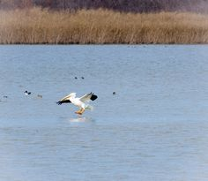 Pelican at Greer Island, Fort Worth Nature Preserve.