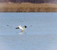 Pelican at Greer Island, Fort Worth Nature Preserve.