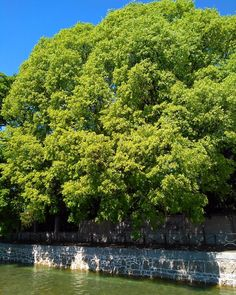 #bigtrees#cloudlesssky#myworld_in_green#myworld_in_colors#navigliomartesana#loves_milano#nearmilan#inlombardia#greeneverywhere#loves_treesbest#loves_united_lombardia#volgomilano#photo_smiles_world#igw_trees#la_trees#tv_trees#milanodavedere by 7lorym