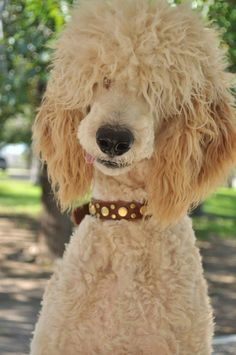 Goldendoodle Haircuts, Goldendoodle Grooming, Dog Haircuts, Poodle Grooming, Dog Grooming, Poodle Cuts, Poodle Mix, Cool Pets, Cute Dogs