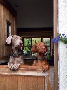 Weimpie & vizsla waiting for mommy. #weimaraner #vizsla