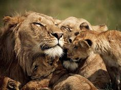 Love the family hugs. Lion,lioness and Cubs, Kenya Photograph by Brandon Harris: A lion and lioness share some quality time with their cubs. Governor's Camp, Kenya. (via Photo of the Day: Best Pictures of June Gallery - National Geographic) Lion Pictures, Animal Pictures, Random Pictures, Amazing Pictures, Funny Pictures, Beautiful Cats, Animals Beautiful, Beautiful Family, Beautiful Babies