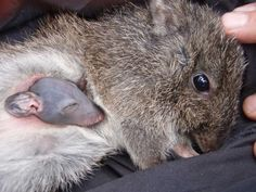 A potoroo with her baby! It's like a kangaroo/mouse/rabbit mix. I did not even know they existed until my Australian friend told me about them :)