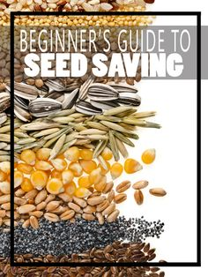 Beginner's Guide to Seed Saving - HomesteadingandHealth                                                                                                                                                     More
